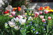 Tulips. Background with front yard garden bright color tulips in sunlight.