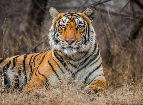 Aluminium Tijger Portrait of a Bengal tiger. Ranthambore National Park. India. An excellent illustration.