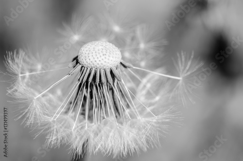 czarny-i-bialy-dandelion-brakujacych-ziaren-zamkniety-up