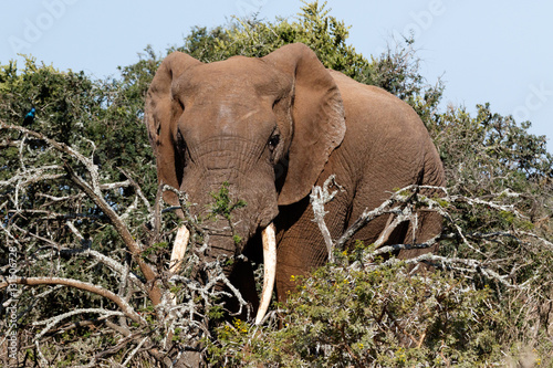 Fotobehang Overige Bush Elephant standing behind the branches