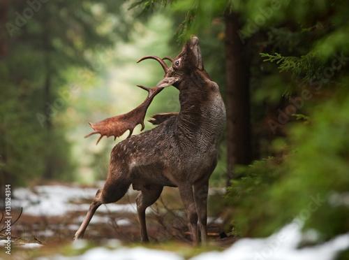 Zdjęcia na płótnie, fototapety na wymiar, obrazy na ścianę : fallow deer, dama dama, czech republic