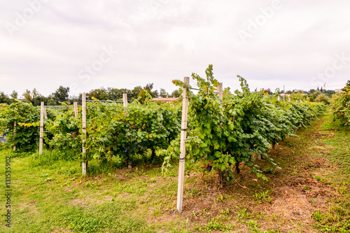 Poster Heuvel Vineyard Ready to Produce Wine