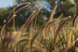 Red and golden grass - 131540173