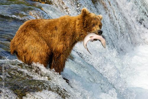 Bears in Alaska Poster