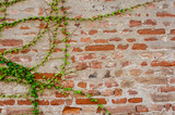 Ivy growing on a brick wall