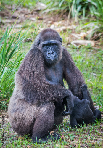 Poster Mother and baby gorilla