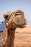 Dromedary camel relaxing