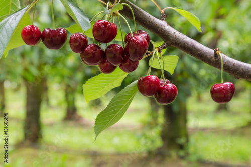 Fotobehang Kersen isolated red cherries on tree in cherry orchard