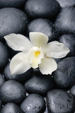 White orchid blossom with black on wet background
