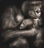 Mother and Child: Western Lowland Gorillas