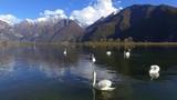 Aerial 4k - Cigni nella Riserva di Pian di Spagna - Lombardia (IT)