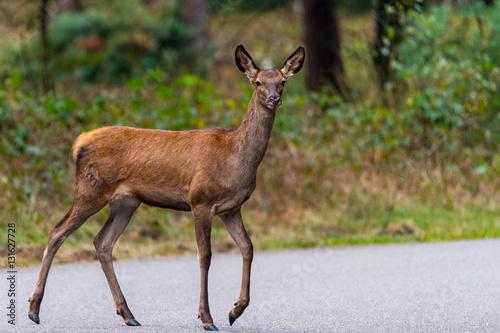 Poster Junger Rothirsch im Nationalpark De Hoge Veluwe blickt in die Kamera