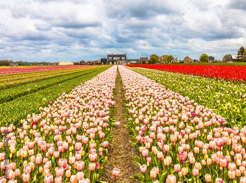 Fotobehang Tulpen Tulip farms in lisse in noordwijk Netherlands