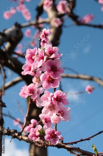 Mandelblüte im Vinschgau ( Südtirol) Poster