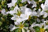 Rhododendron Palestrina im Frühling - Rhododendron Palestrina in spring