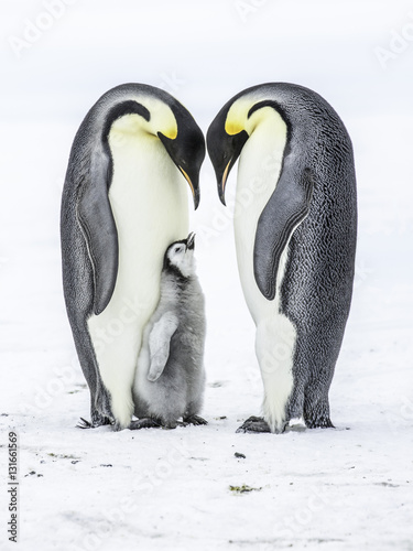 Staande foto Antarctica Emperor Penguins on the frozen Weddell sea