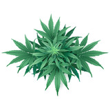 Cannabis or Marijuana.