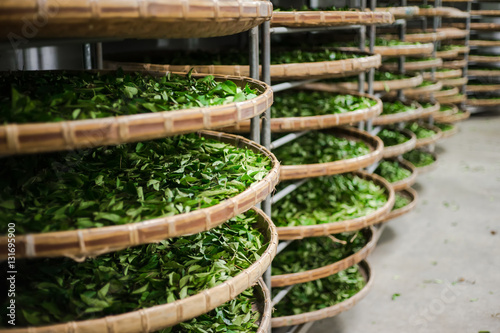 Asia culture concept image - view of fresh organic tea bud & leaves on bamboo basket in Taiwan, the process of tea making