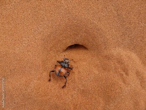 Poster Pillendreher in der Namib vor seinem Bau
