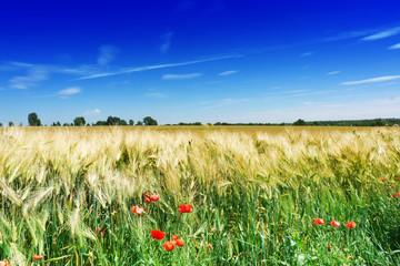 Mohnblumen am Feldrand, blauer Himmel