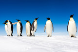 Group of cute Emperor penguins on ice