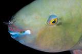 Commensal shrimp, Periclimenes longicarpus, on parrotfish Marsa Alam, Red Sea, Egypt.