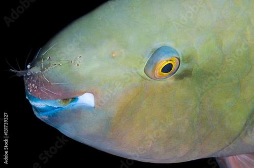 Poster Commensal shrimp, Periclimenes longicarpus, on parrotfish Marsa Alam, Red Sea, Egypt