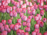 Pink tulips. Nature spring background