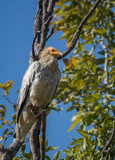 An Egyptian vulture bird perched on a tree