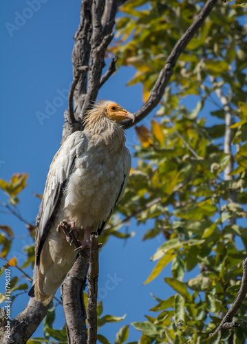 Poster An Egyptian vulture bird perched on a tree