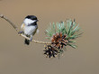 Black-Capped Chickadee  Perched on Pine Tree Branch with Cones