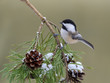 Black-Capped Chickadee Perched a Pine Branch with Cones in Winter