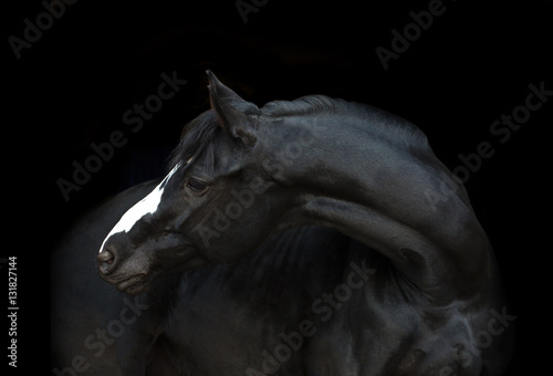 Portrait of the black horse  with white line of his head on the black background