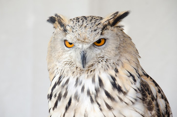 Portrait of an owul
