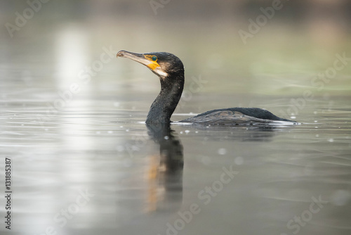 Poster Cormorant, Phalacrocorax carbo