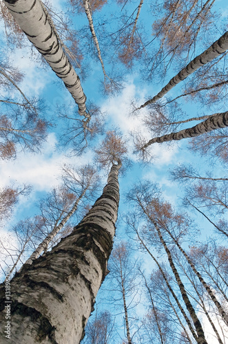 The tops of the birch trees against of the sky