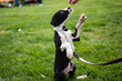 Great Dane puppy 'paws' for a treat in green grass