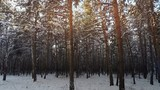 Shot snowy forest trees in the winter Full HD