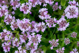 Closeup of wild thyme - selective focus, copy space - 131909354