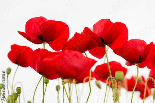 Poster Rood traf. red poppies isolated on white - selective focus