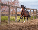 Bay horse galloping along the fence on nature background