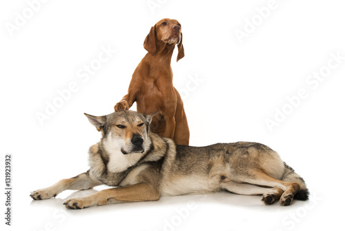 Poster Zwei Hunde