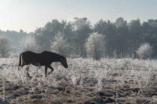 Wild horse in winter landscape Poster