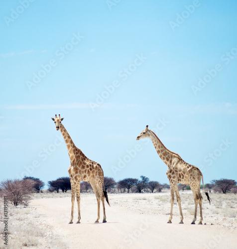 Poster two giraffes