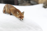 Red fox into the snow