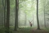 Beautiful image of red deer stag in foggy Autumn colorful forest - 131970361
