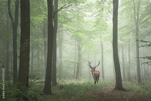 Fotobehang Khaki Beautiful image of red deer stag in foggy Autumn colorful forest