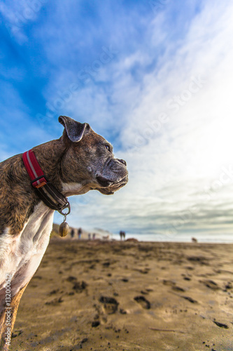 Poster Brindle Boxer Dog on Sunny Beach