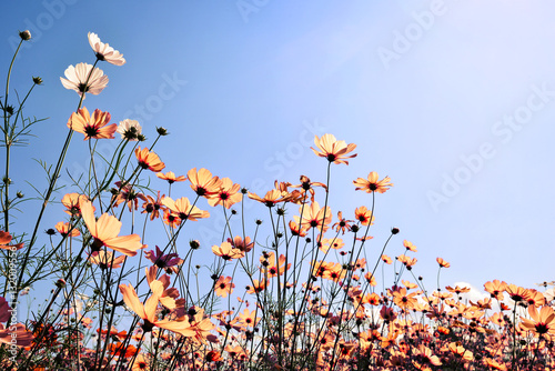 Plagát Vintage landscape nature background of beautiful cosmos flower field on sky with sunlight
