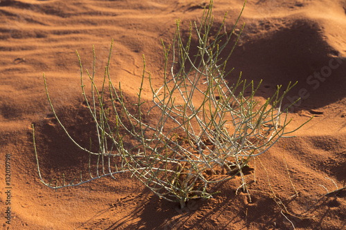 Desert plant with insect tracks in Wadi Rum desert, Jordan Poster